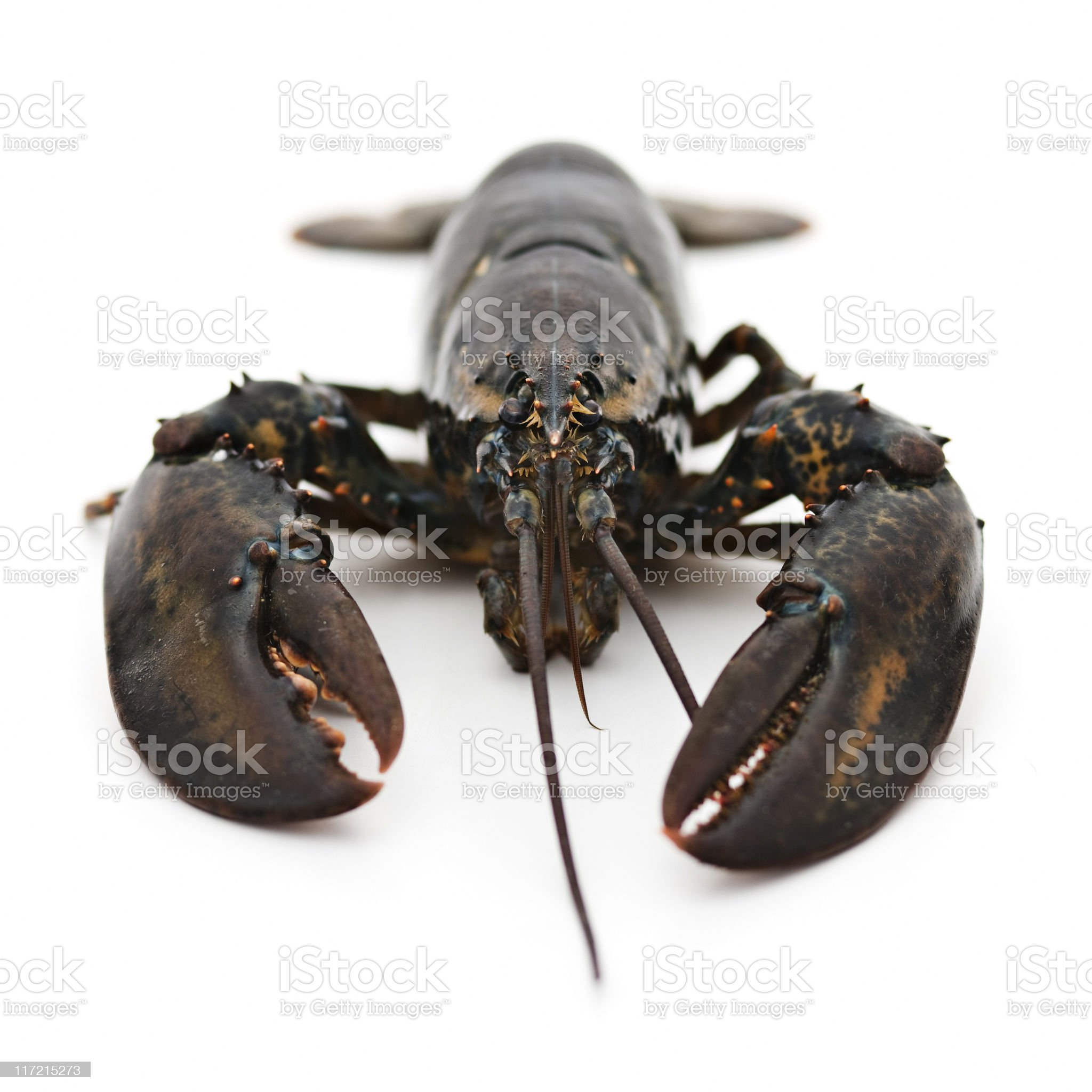 Living lobster royalty-free stock photo