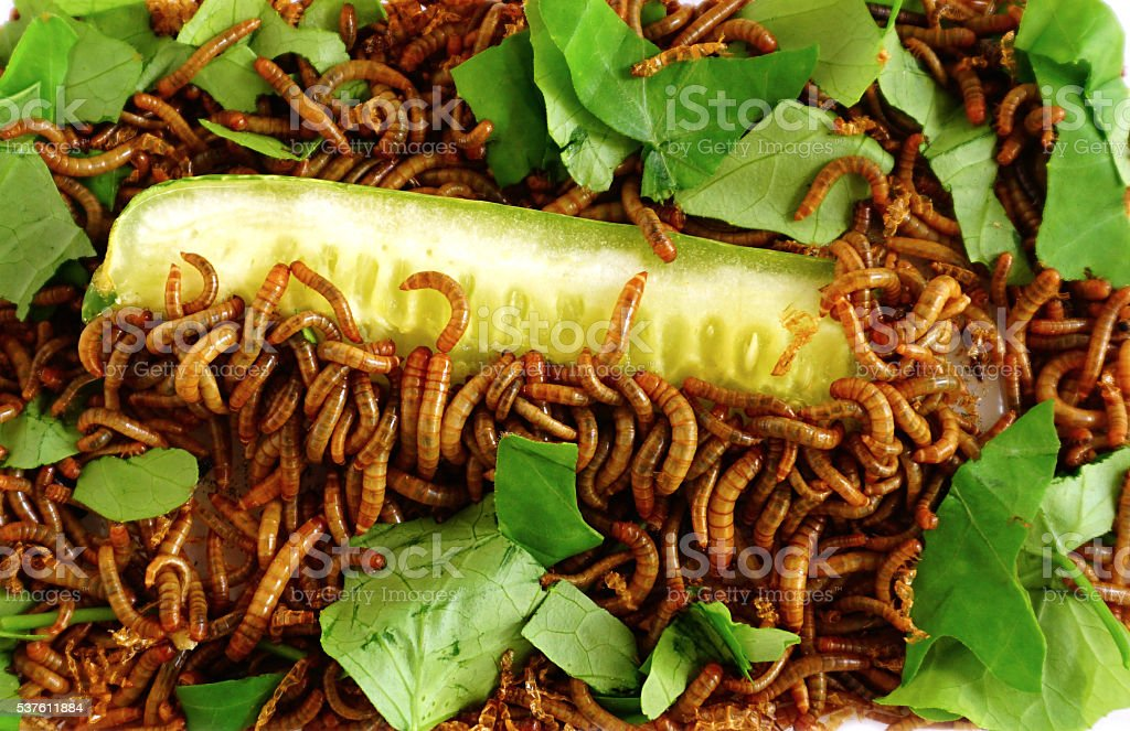 Living meal worms larvae. feeding Ivy Gourd and cucumber stock photo