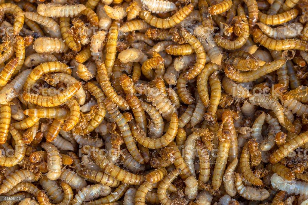 Living mealworm larvae background stock photo
