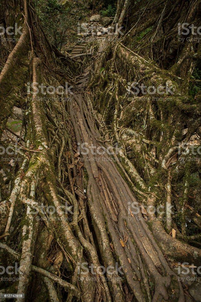 Living root bridges in Nongriat, Meghalaya, India. stock photo