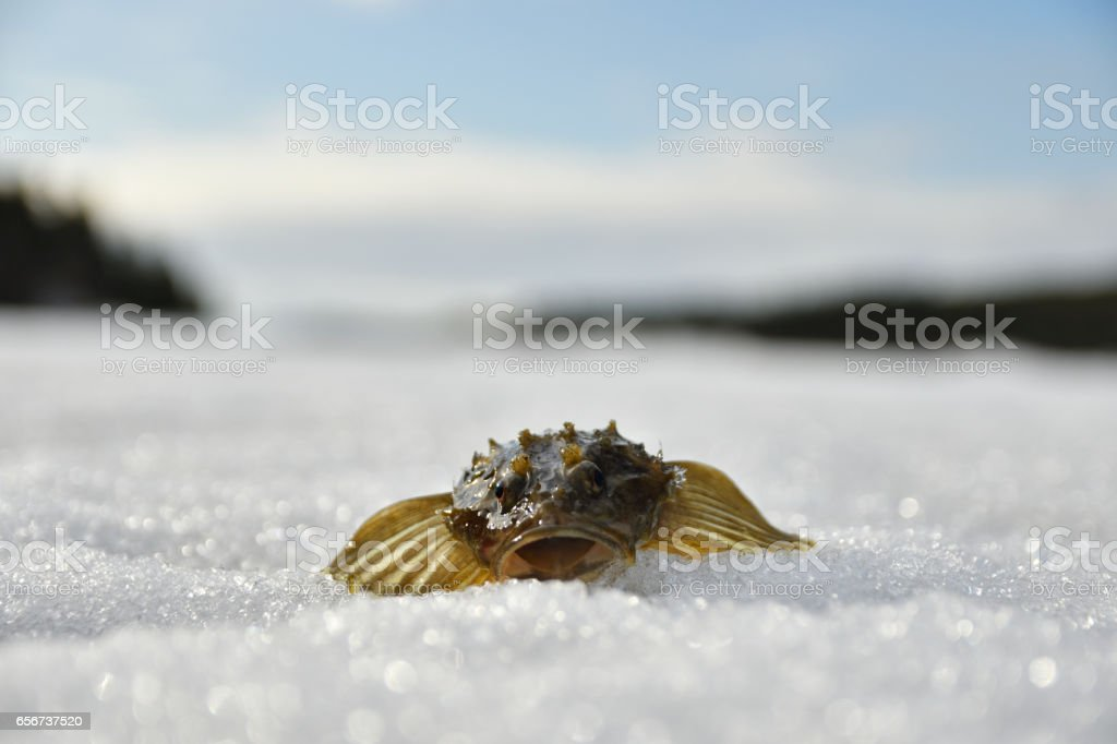 Living Sculpin laying on ice stock photo
