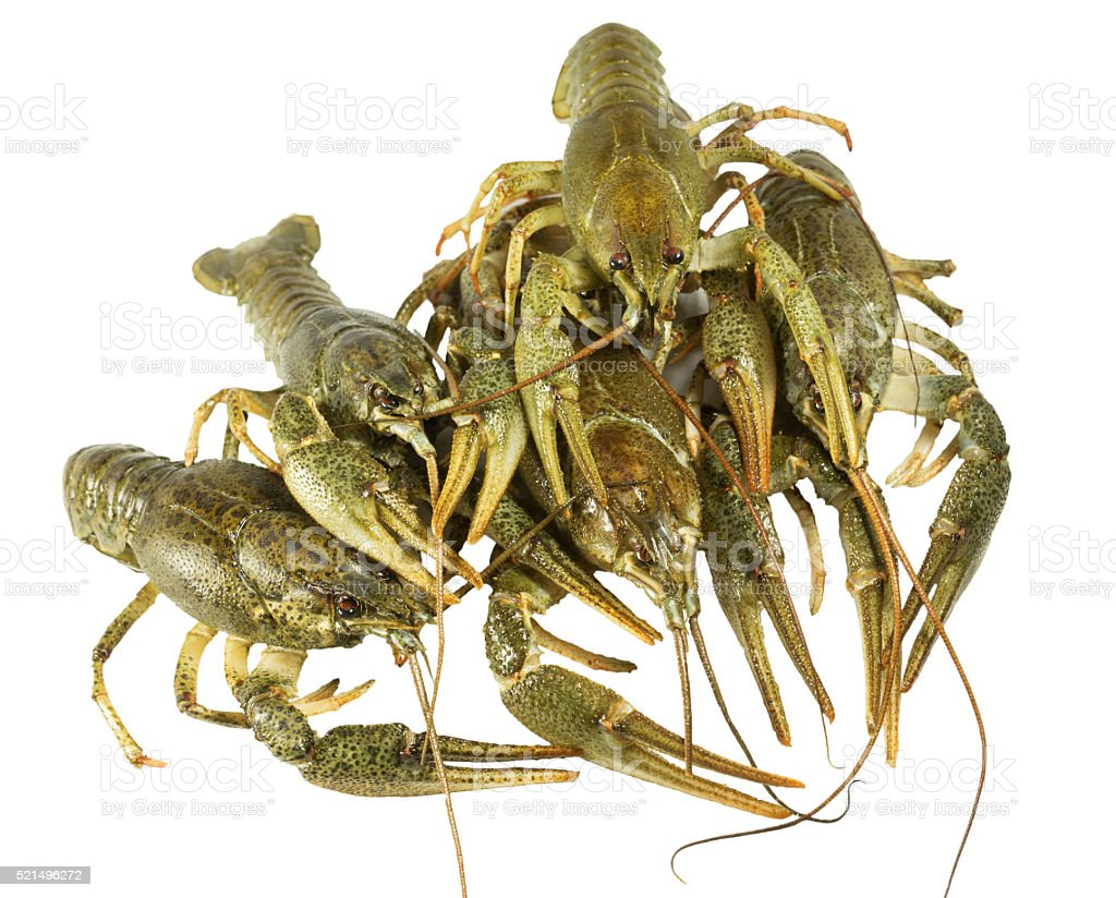 Living  two Crayfish closeup on white background stock photo