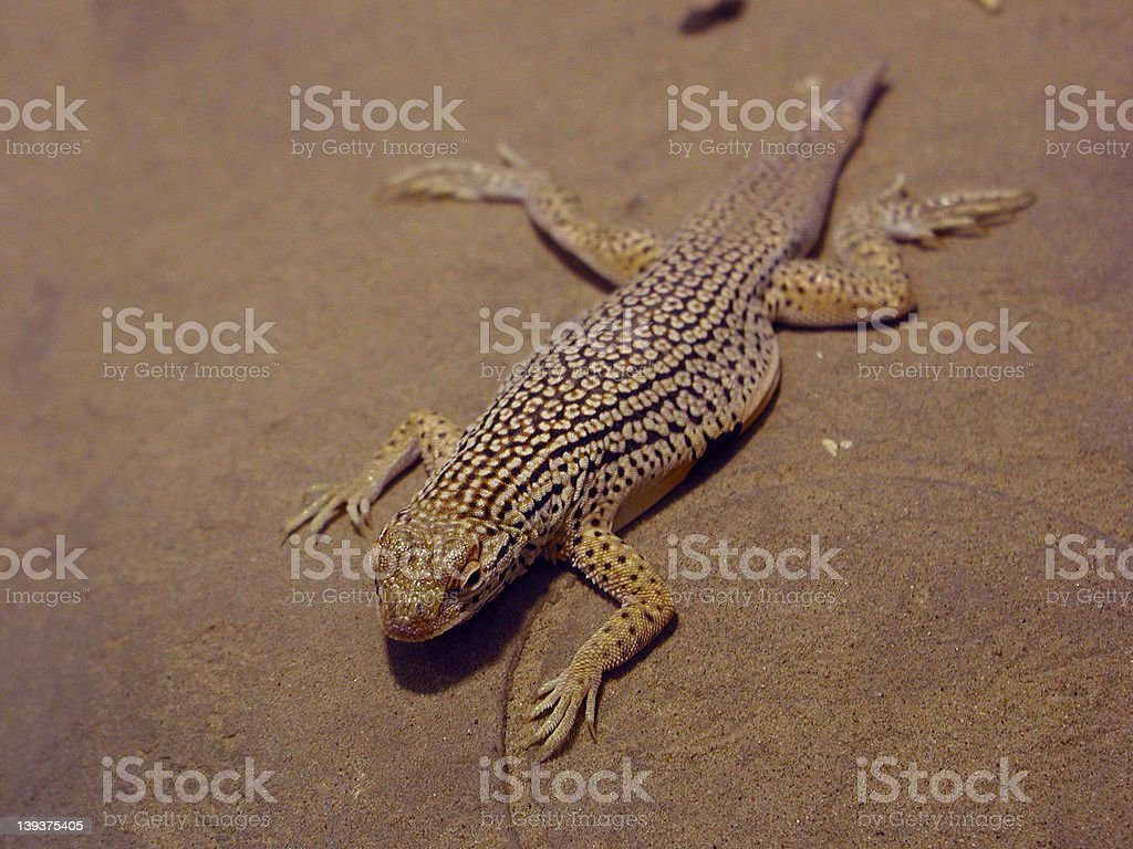 Lizard 3 stock photo