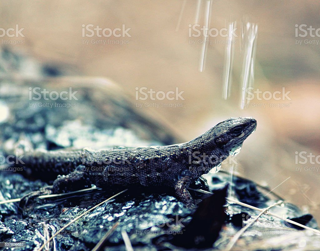 lizard and water drop stock photo