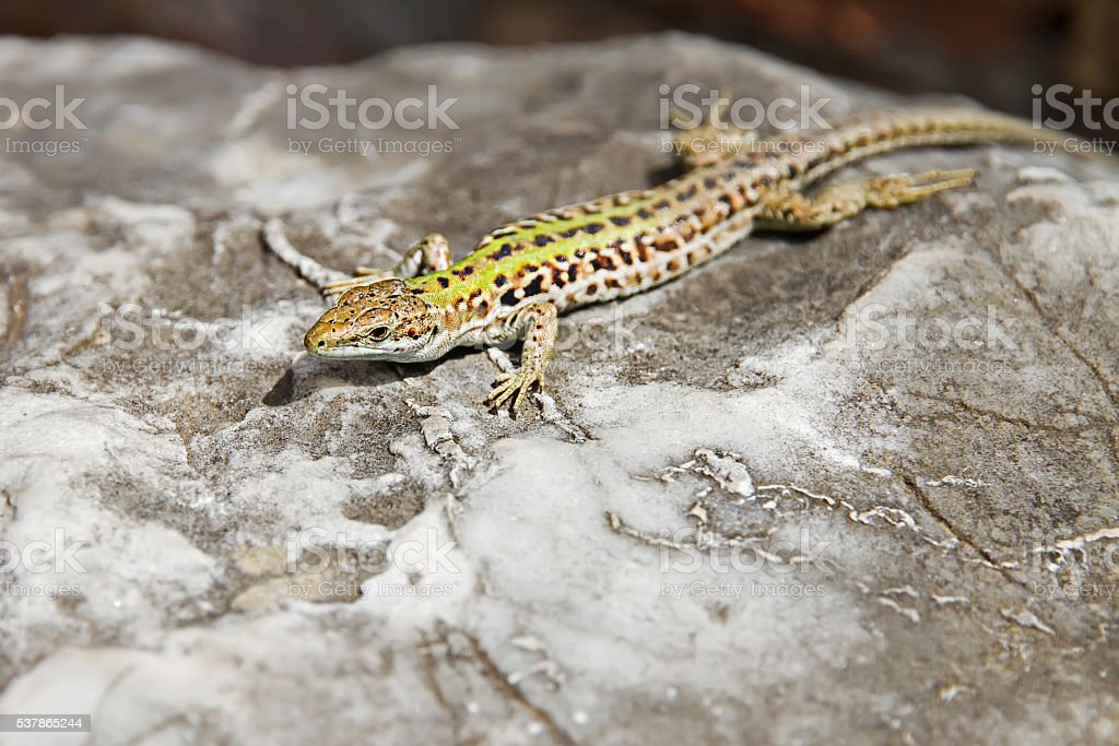lizard basking on a rock at solcne stock photo