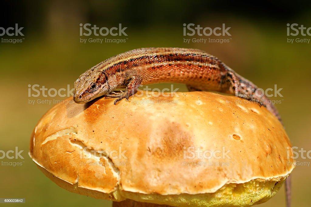 lizard basking on mushroom stock photo
