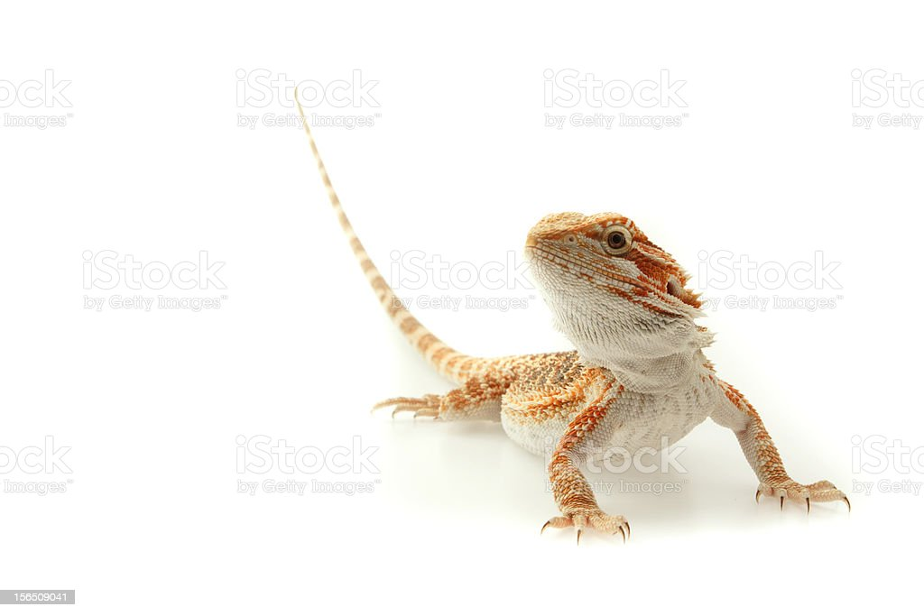 Lizard Bearded dragon isolated on white stock photo