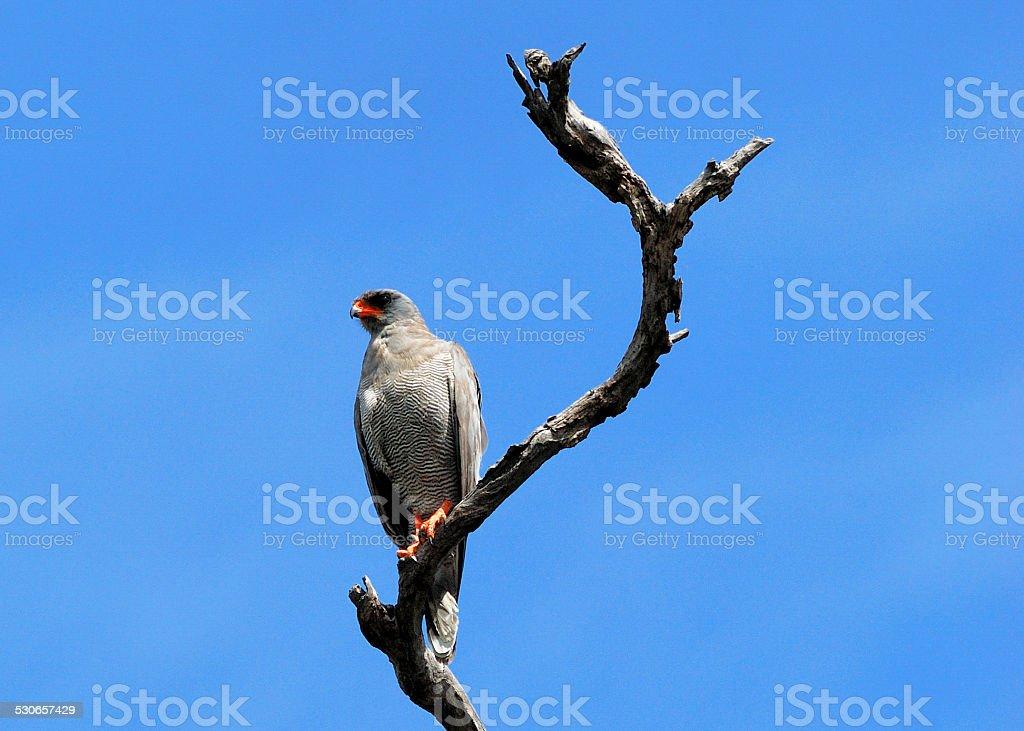 Lizard buzzard on a dead tree stock photo