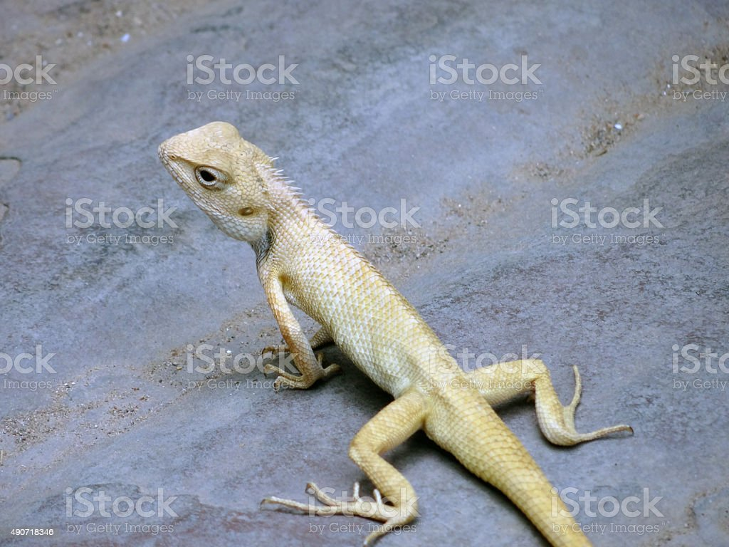 Lizard chameleon stock photo