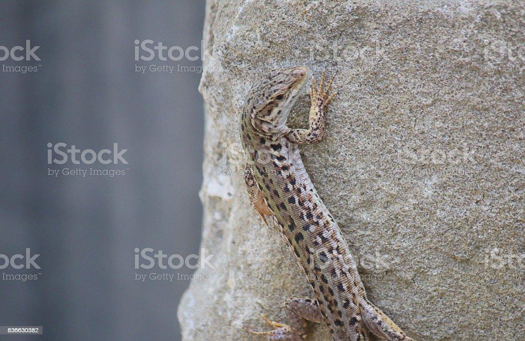 lizard climbing the rocks stock photo
