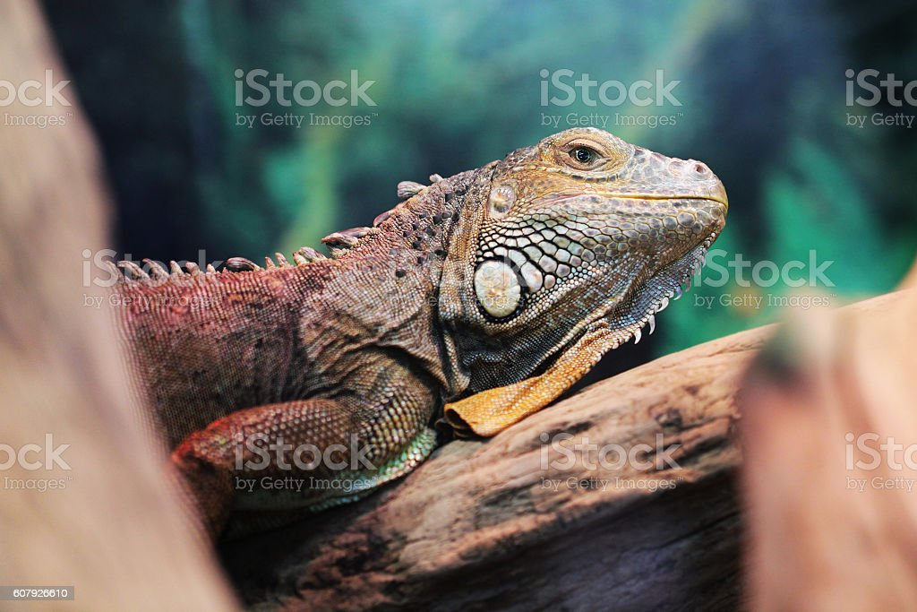 Lizard close up animal portrait stock photo