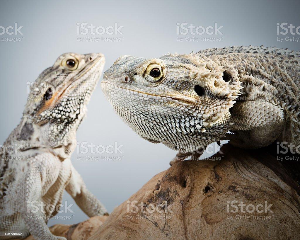 Lizard couple royalty-free stock photo