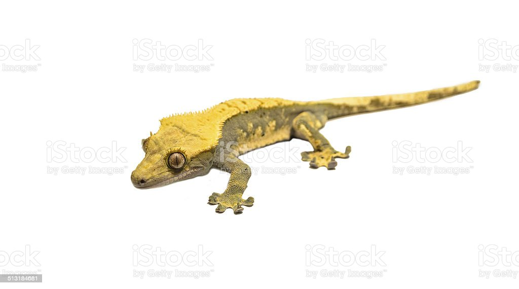 lizard crested gecko  isolated on white background stock photo