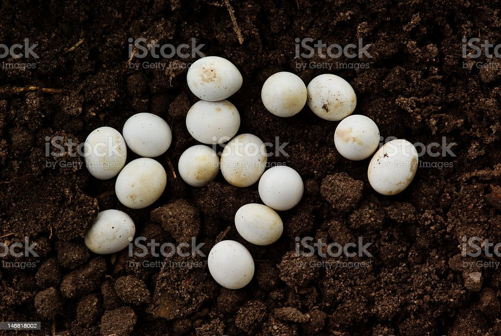 Lizard Eggs in Soil stock photo