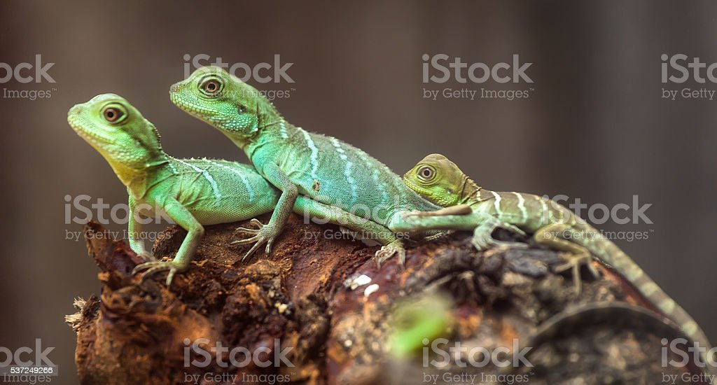 Lizard families together stock photo