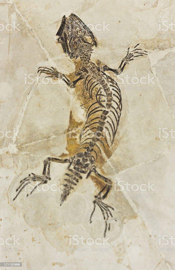 Lizard fossil stock photo