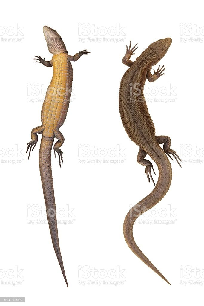 Lizard from two parties (paunch, back) isolated on white background stock photo