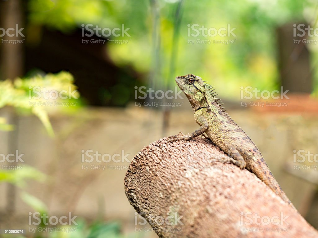 Lizard, galliwasp or chameleon on timber tree stock photo