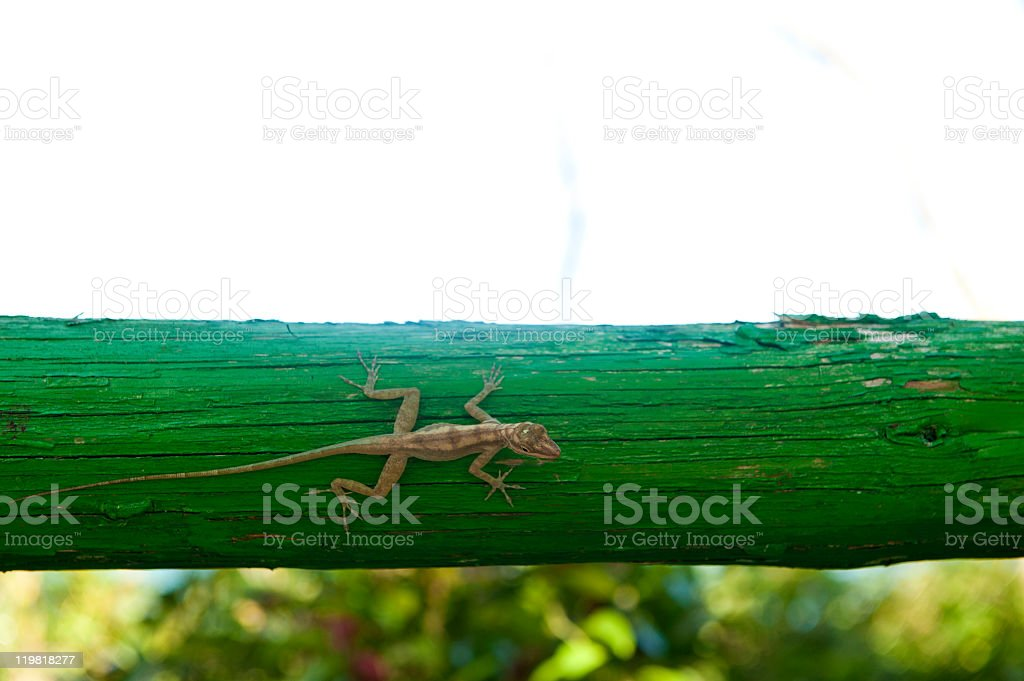 Lizard in Cuba stock photo