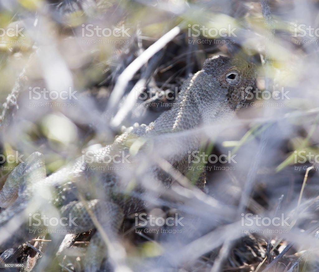 Lizard in desert of Central Asia, Kazakhstan stock photo