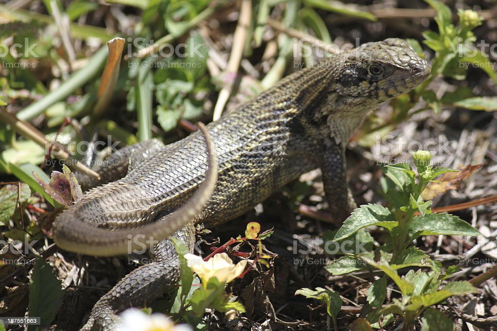 Lizard in grass stock photo