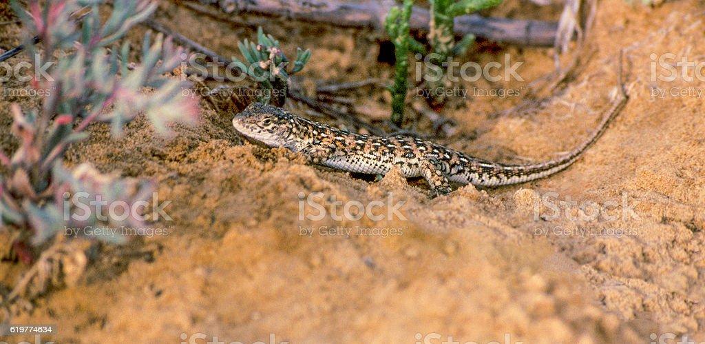 Lizard (lat. Eremias arguta) in  steppes of  Astrakhan region. Russia stock photo