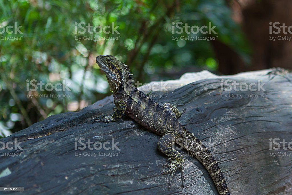 Lizard in the Botanic garden, Brisbane, Australia stock photo