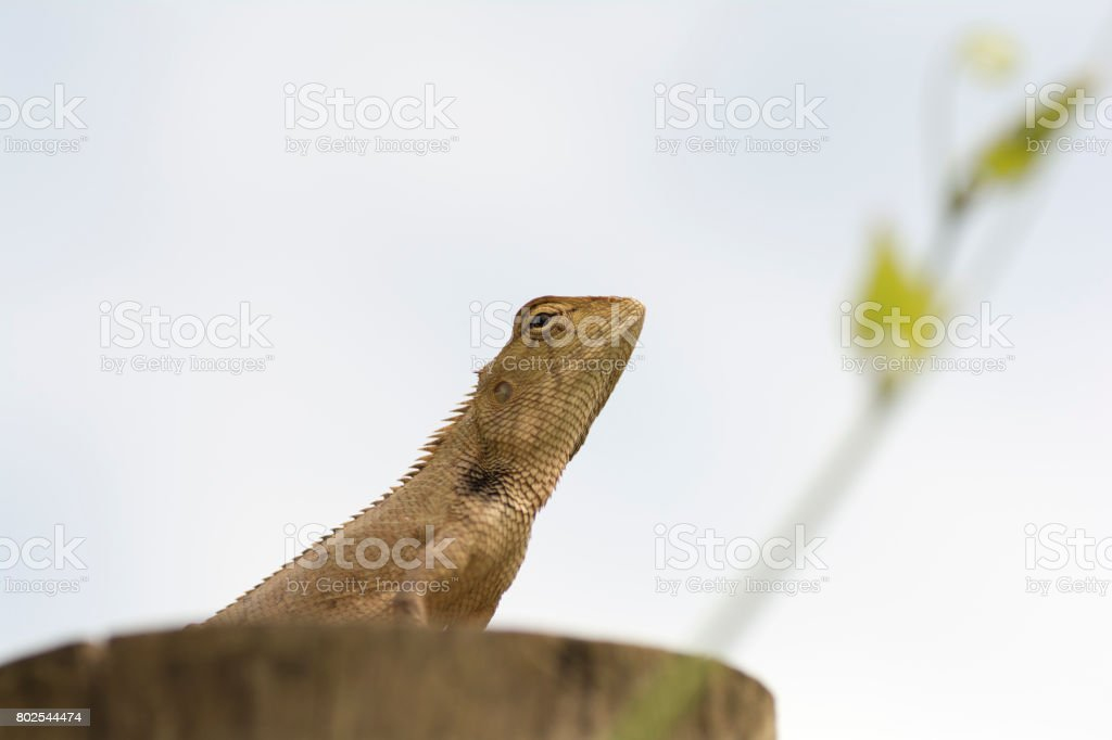 lizard is on the timber. stock photo