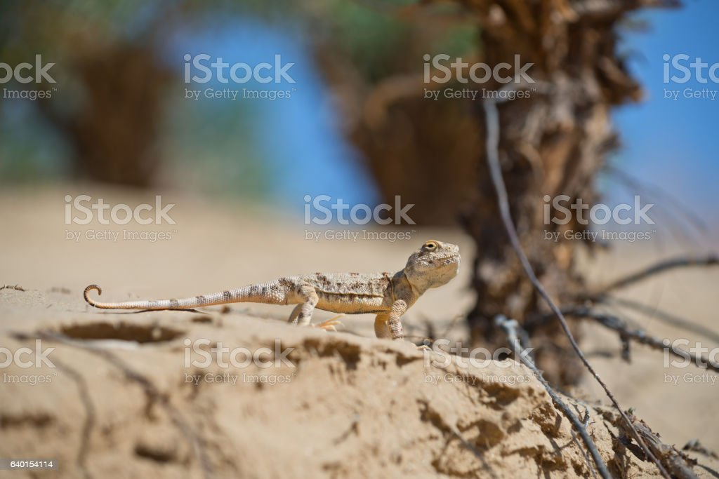 Lizard of genus Agam on sand in desert of Tibet. stock photo