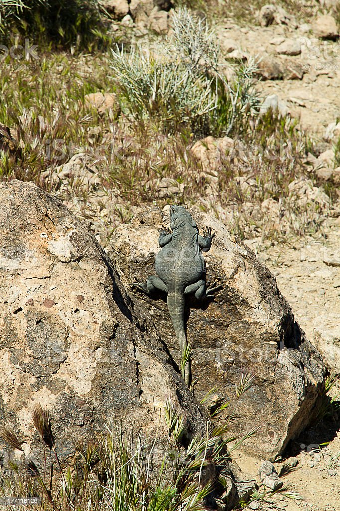 lizard on  a rock at death valley royalty-free stock photo