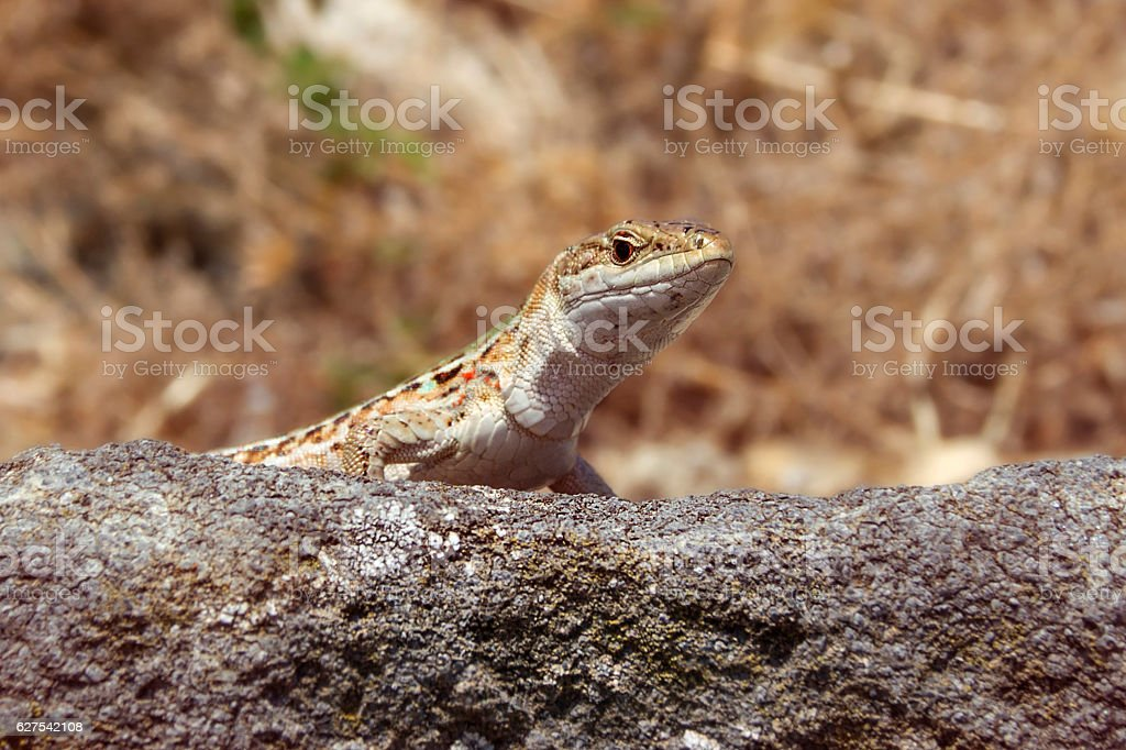 lizard on a rock stock photo