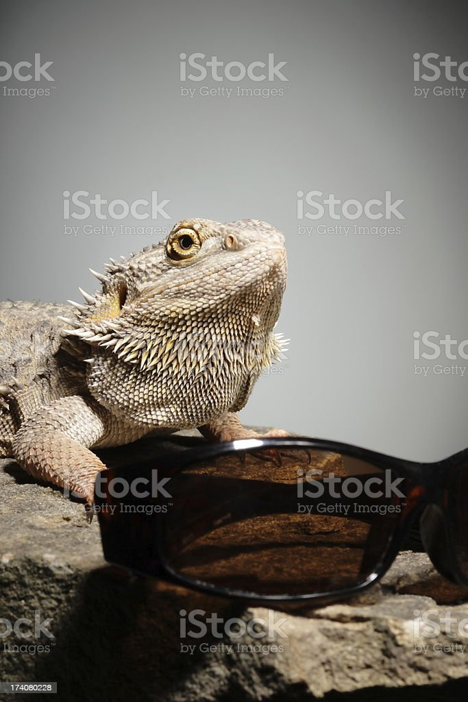 Lizard on a rock with sun glasses royalty-free stock photo