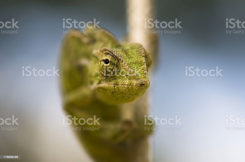 lizard on a rope stock photo