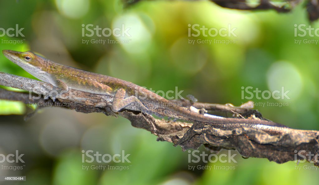 Lizard On A Stick stock photo
