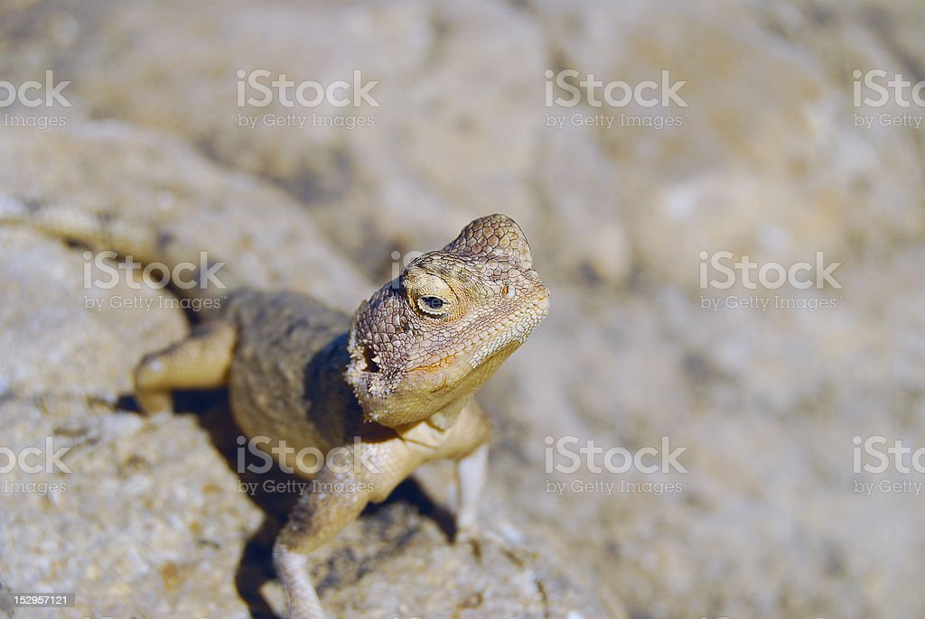 Lizard on a stone stock photo