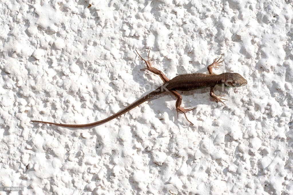 lizard on a white background stock photo