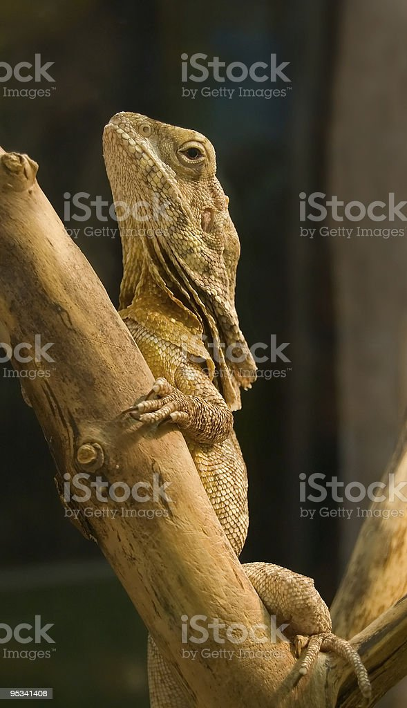 Lizard on a wood. royalty-free stock photo