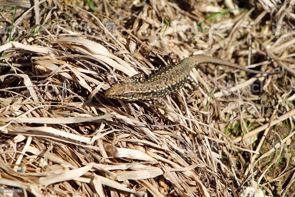 Lizard on dried grass stock photo