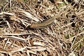 Lizard on dried grass