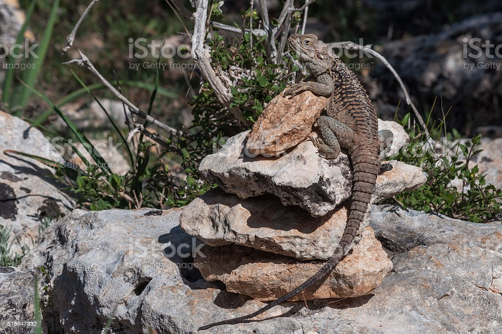 lizard on rock at the island of Delos in Cyprus stock photo