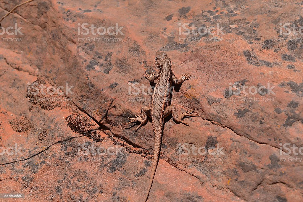 Lizard on Sandstone, Zion National Park, Utah stock photo