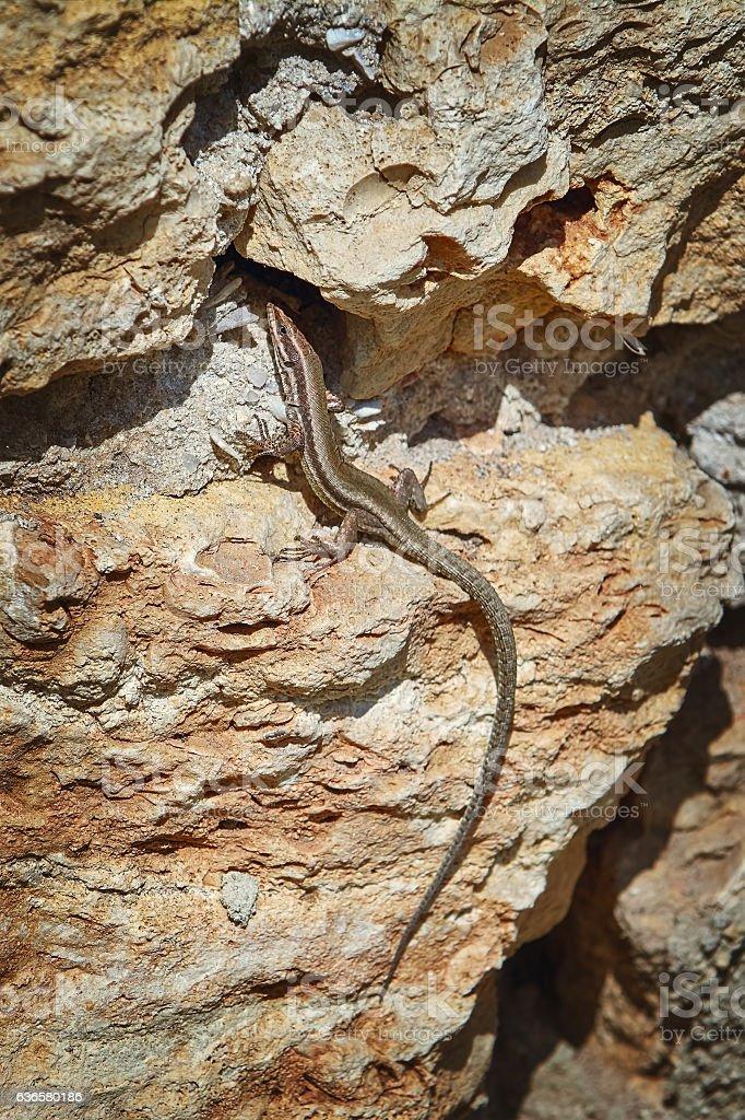 Lizard on Stone stock photo