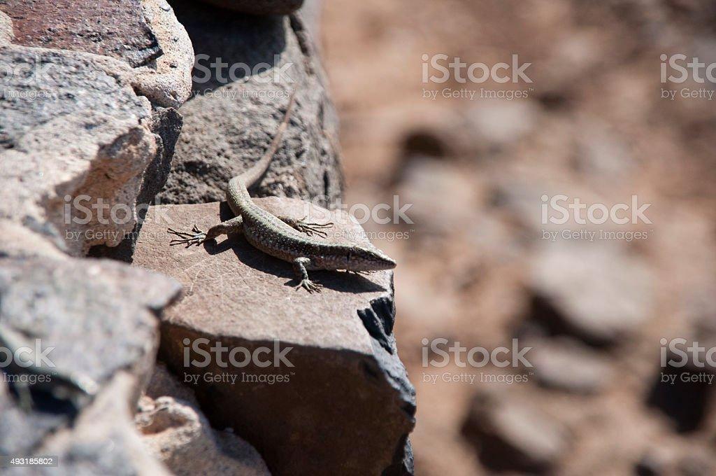Lizard on the Edge royalty-free stock photo