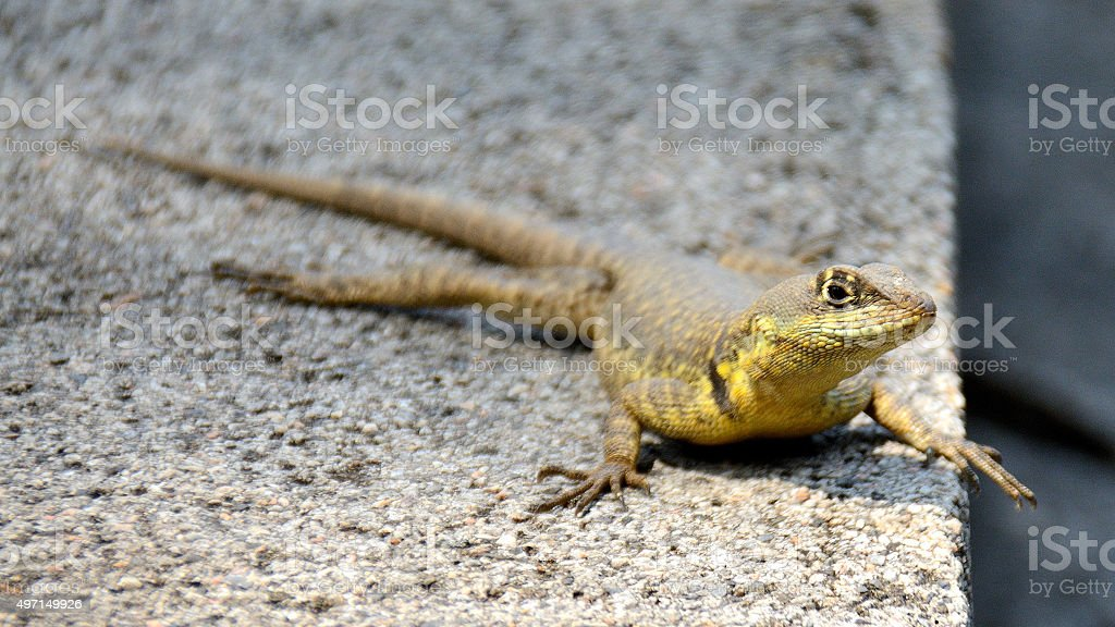 Lizard on the fence stock photo