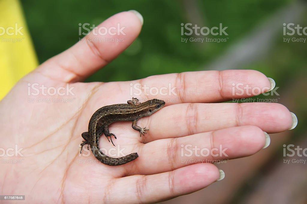 Lizard on the girl's hand stock photo