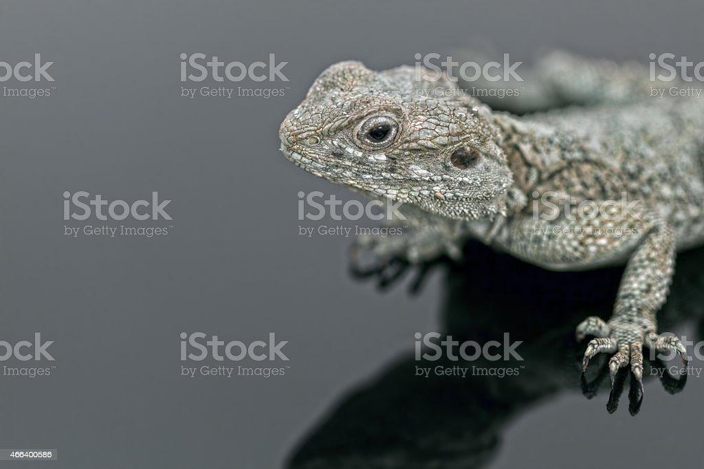 Lizard on the glass floor stock photo