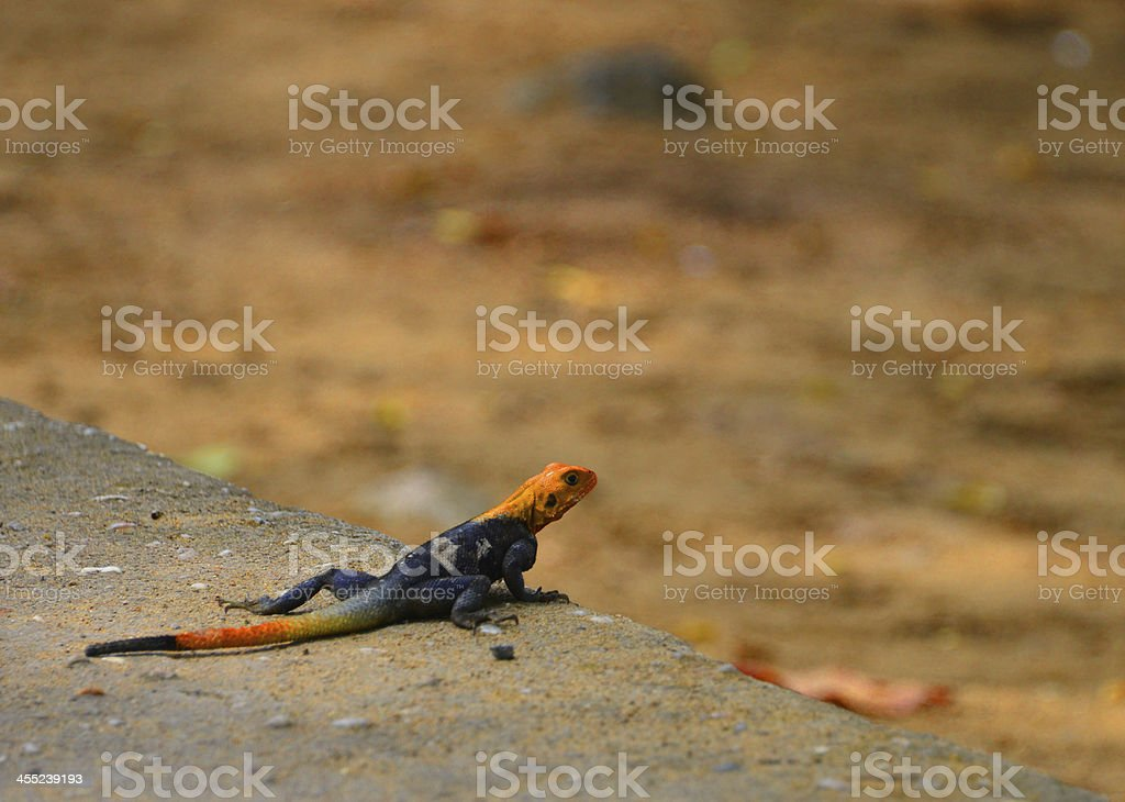 Lizard on the look out, Cameroon stock photo