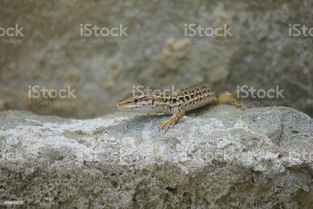 lizard on the rocks stock photo