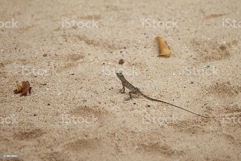 Lizard on the sand. stock photo