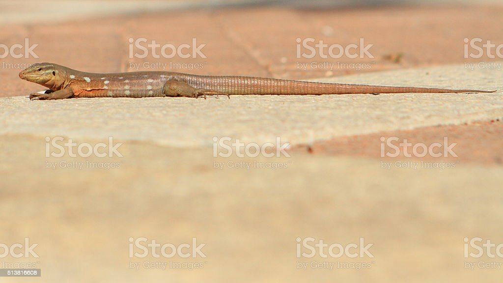 Lizard on the Streets stock photo